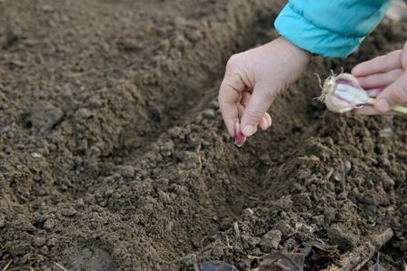 Come seminare l 39 aglio for Quando si pianta l aglio